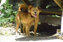 Mijn mooie bruine glimlach van een hond Stock Afbeelding
