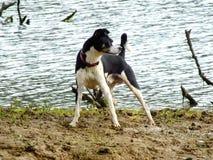 Mijn Otis-het spelen rond het Keswick-Reservoir Stock Afbeeldingen