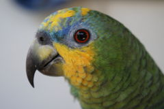 Mijn papegaai Royalty-vrije Stock Foto