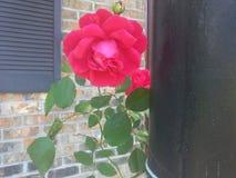 Mijn perfecte roze struik royalty-vrije stock foto's