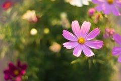 Mijn Roze Bloemen Royalty-vrije Stock Afbeeldingen