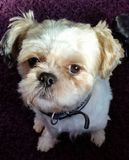 Mijn sammy hond Royalty-vrije Stock Foto's