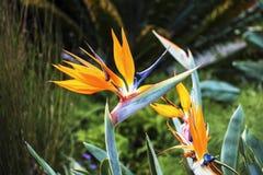 Mijn vogel-van-Paradijs Stock Afbeelding