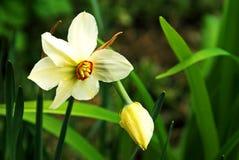 Mijnheer Narcissus. Royalty-vrije Stock Afbeelding