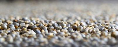 Mijo de perla (Bajra) Fotografía de archivo libre de regalías