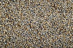 Mijo de perla (Bajra) Imágenes de archivo libres de regalías