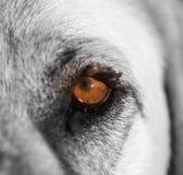 Mijten op het oog van een hond royalty-vrije stock afbeelding