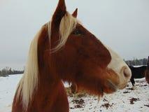 Mike den åriga hästen för utkast 19 tycker om en snödag Royaltyfri Foto