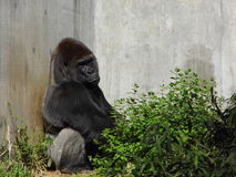 Mike, the Silverback Royalty Free Stock Photo
