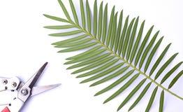 Mikea de Pachypodium das instruções da germinação - o chamaoensis dos palmCycas de madagascar é nomeado após o único habitat conh Fotografia de Stock Royalty Free