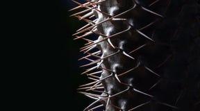 Mikea de Pachypodium das instruções da germinação - palma de madagascar Fotografia de Stock Royalty Free
