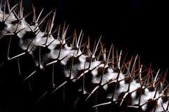 Mikea de Pachypodium das instruções da germinação - palma de madagascar Fotos de Stock Royalty Free