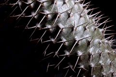 Mikea di Pachypodium di istruzioni di germinazione - palma del Madagascar Immagine Stock