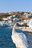 Mikonian Pelican Royalty Free Stock Photos