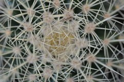 Mikro Kaktusowe igły Zdjęcia Royalty Free