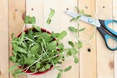 Mikro zielenieje, warzywa zdjęcie stock