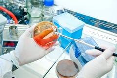 Mikrobiologie - Bakterienkultur Stockfotos