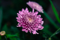 Mikrofoto-Chrysantheme Lizenzfreies Stockfoto