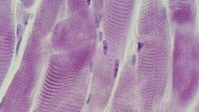 Mikrofotografia bruzdkujący mięsień zdjęcie royalty free