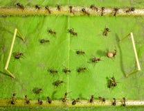 Mikrofußball - Ameisenfußball Stockfoto