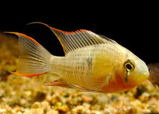 Mikrogeophagus altispinosus Stock Photo