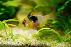 Mikrogeophagus ramirezi,公羊丽鱼科鱼,男性 免版税库存照片
