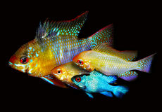Mikrogeophagus ramirezi zdjęcia royalty free