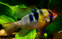 Mikrogeophagus ramirezi Stock Photo