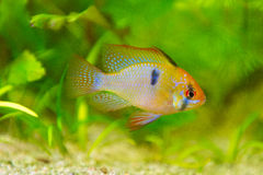 Mikrogeophagus ramirezi, ram cichlid,male Royalty Free Stock Photos