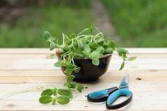 Mikrogrün, Gemüse Stockfotografie
