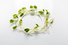 Mikrogrüns vereinbarten im Kreis auf weißem Hintergrund mit Wassertropfen Sonnenblumensprösslinge, microgreens Flache Lage nave Stockbild
