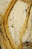 Mikrograph des Marienkäferflügels Stockfoto