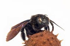 Mikrograph einer schwarzen Hummel, die auf einem stacheligen Oberteil einer Kastanie sitzt Stockbilder