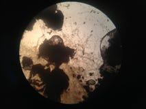 Mikroorganismen im microscop lizenzfreies stockbild