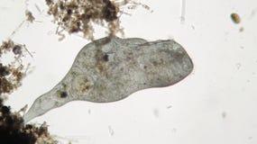 Mikroorganismen Stentor eller trumpetmikroskopiska djur filter-matar, ciliate heterotrophic protozo Arkivfoto