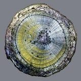 Mikroskopischer Schnitt des Birkenzweigs Stockfotografie