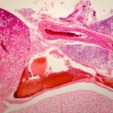 Mikroskopisk njure för avsnitt o Arkivfoto