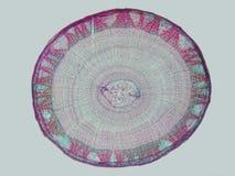 mikroskopisk stem för linden Arkivfoto