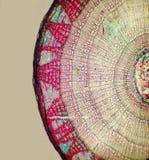 mikroskopisk stem för linden Royaltyfri Foto