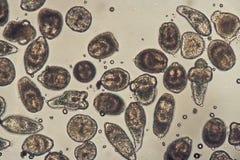mikroskopiska fotoprotoscolices för echinococcus Arkivfoton
