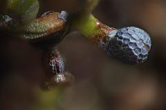 Mikroskopiska gröna forsar under ribbad opiumvallmofrö beskjuter Papaver - somniferum vid mikroskopet Drogopiat och matväxt Royaltyfri Bild