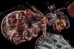 Mikroskopiska parasitfästingar, kvalsterar, Dermacentorreticulatus eller utsmyckade kofästing- och Ixodesscapularis eller hjortfä Arkivbild