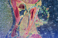 Mikroskopiskt avsnitt av den mänskliga njure fotografering för bildbyråer