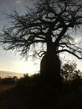 Mikumi national Park. A baobab tree in safari tour with sunset background Royalty Free Stock Image