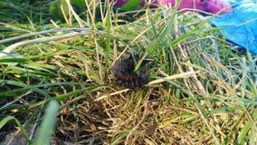 Milípede Foto de Stock Royalty Free