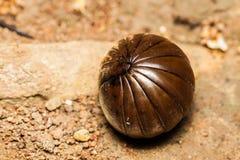 Milípede do comprimido na forma da bola na terra Imagens de Stock Royalty Free