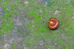 Milípede e formiga vermelha na terra Fotografia de Stock Royalty Free