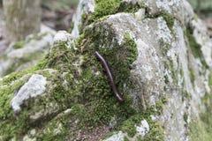 Milípede em uma rocha musgoso Imagem de Stock