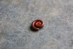 Milípede vermelho Fotos de Stock