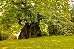 Mil años del árbol de tilo foto de archivo libre de regalías
